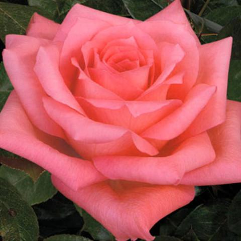 Троянда Дольче Віта (Dolce Vita) штамб