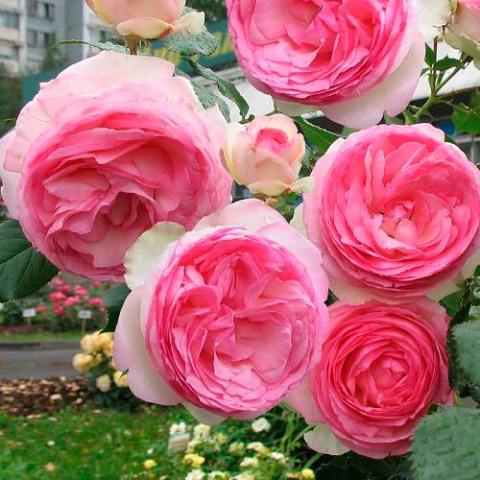 Троянда Едем (Eden) штамб