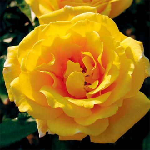 Роза Голден Шоуэрс Вьющаяся (Golden Showers) штамб