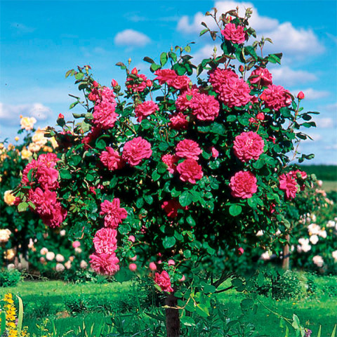 Троянда Король Артур (King Arthur) штамб