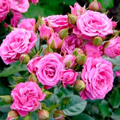 Роза Линда (Linda) штамб