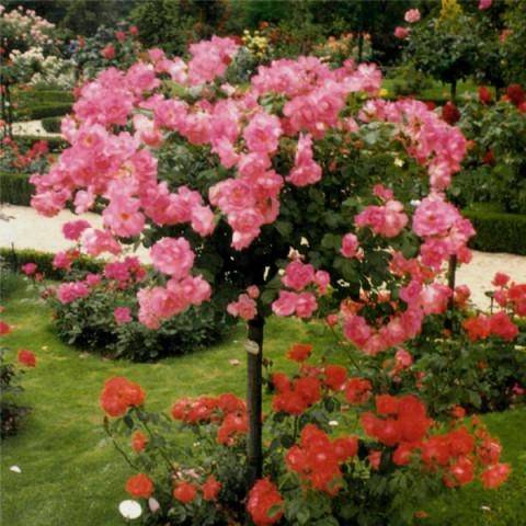Троянда Лінда (Linda) штамб