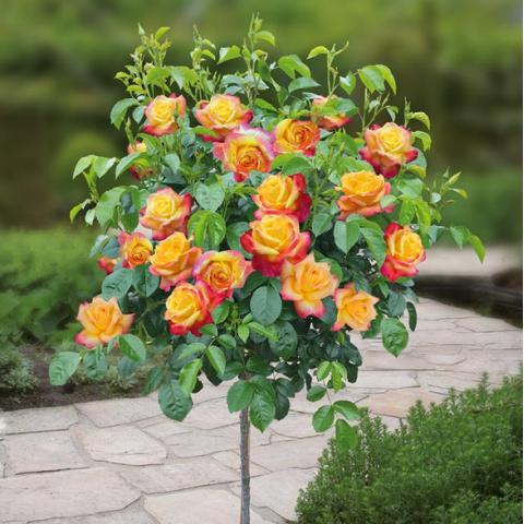 Роза Литтл Сансет (Little Sunset) штамб