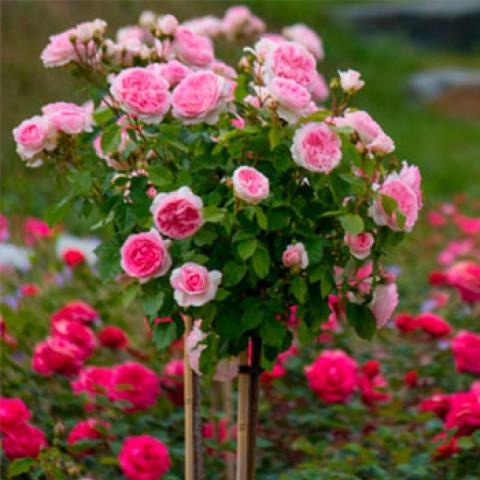 Роза Шарика-Асма (Sharika-Asma) штамб