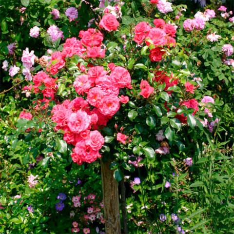 Роза Сладкий Поцелуй (Sweet Kiss) штамб