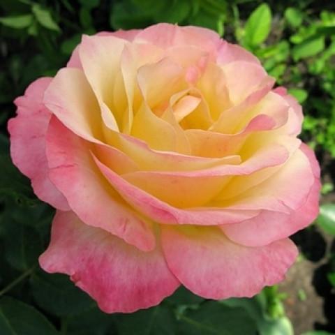 Троянда Глорія Дей (Gloria Dei) штамб