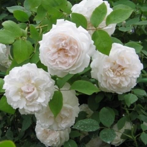 Троянда Сяюча наречена (Shining Bride) штамб