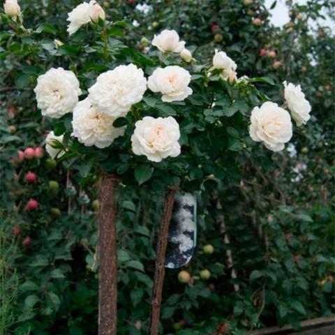 Роза Сияющая невеста (Shining Bride) штамб