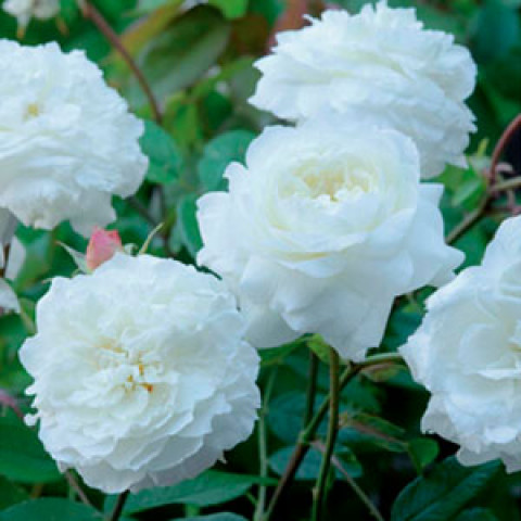Роза Белая Сенсация (White Sensation) штамб