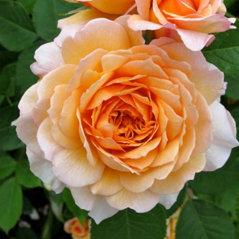 Роза Сэр Ланселот (Sir Lankelot) штамб