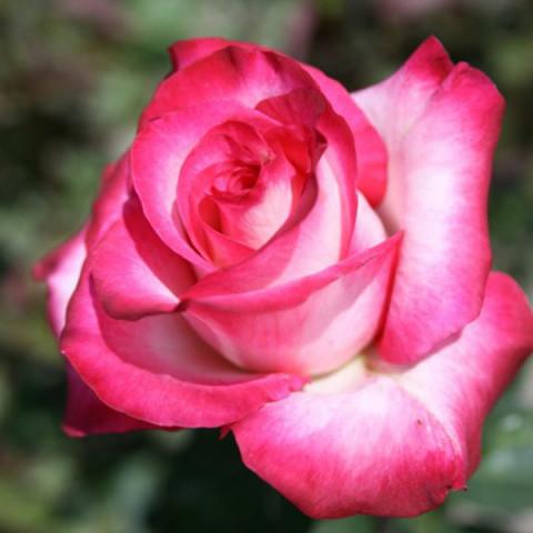 Роза Утро Парижа (Utro Parisa) штамб