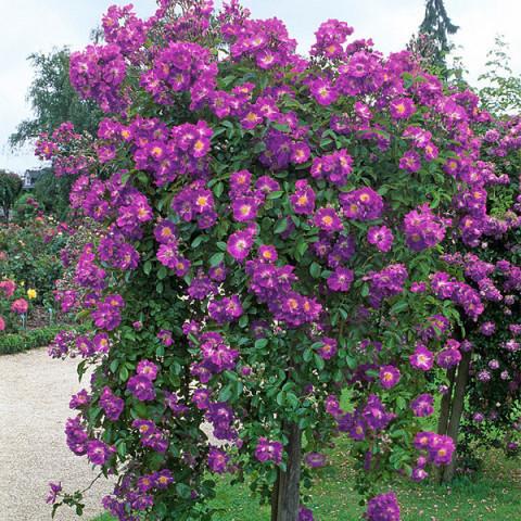 Роза Вейченблау (Veilchenblau) штамб