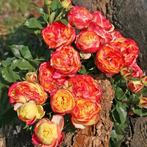 Роза Вулканика (Vulcanica) штамб