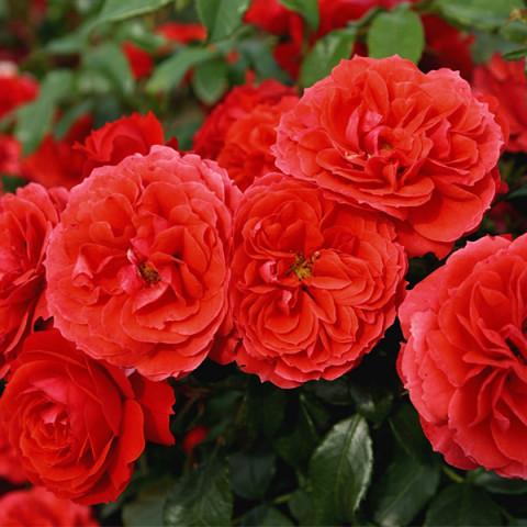 Роза Закат (Sunset) штамб