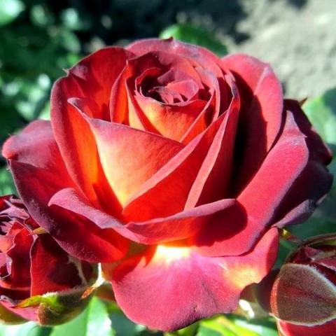 Роза Браун Шугер (Brown Sugar)