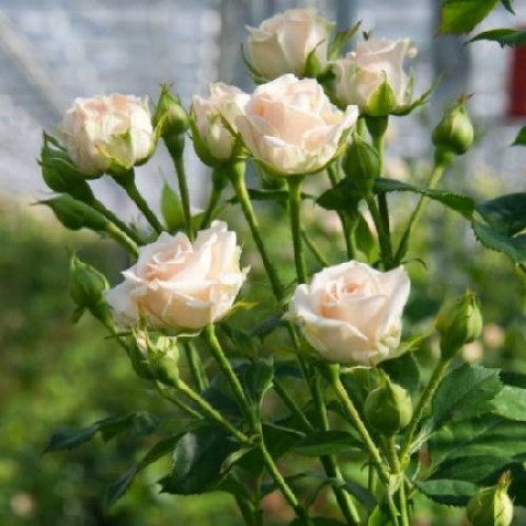 Роза Крем Грация (Cream Gracia)