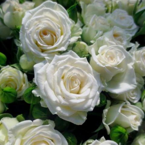 Троянда Вайт Леді  (White Lady)