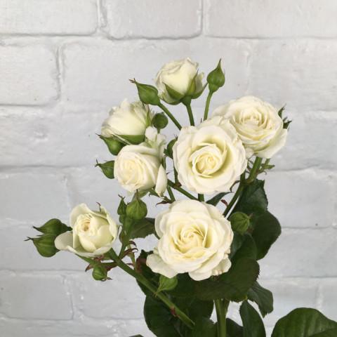 Роза Вайт Леди (White Lady)