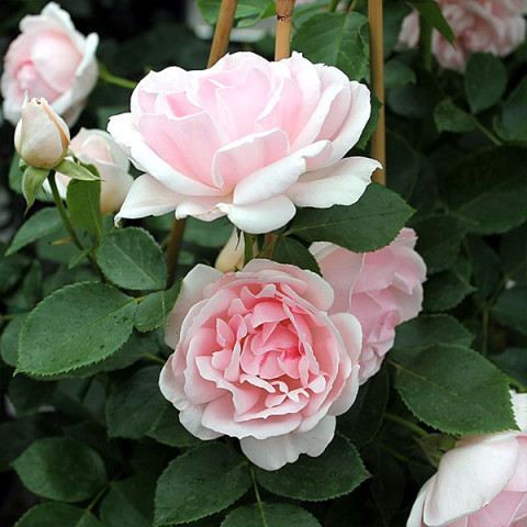 Роза Баллада (Ballade) штамб Tantau