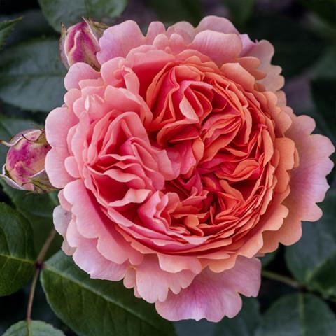 Роза Чиппендейл (Chippendale) штамб Tantau