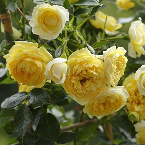 Роза Старлет Роуз Элида (Starlet Rose Elida) штамб Tantau