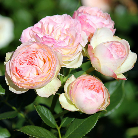 Роза Пастелла (Pastella) штамб Tantau