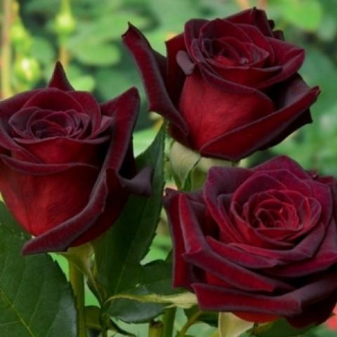 Троянда Баркароле (Barkarole) штамб Tantau (контейнер 2 л)