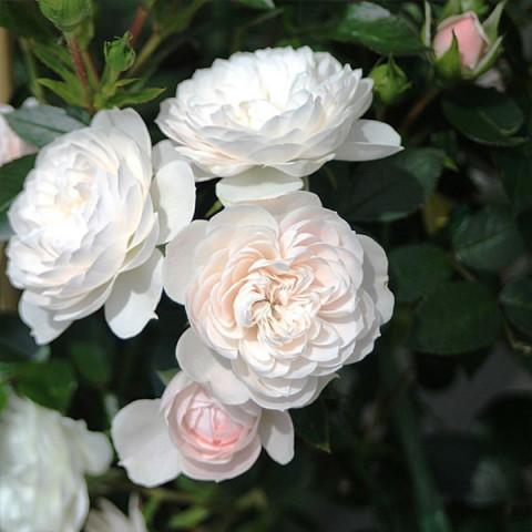 Роза Старлет Роуз Алина (Starlet Rose Alina) штамб Tantau