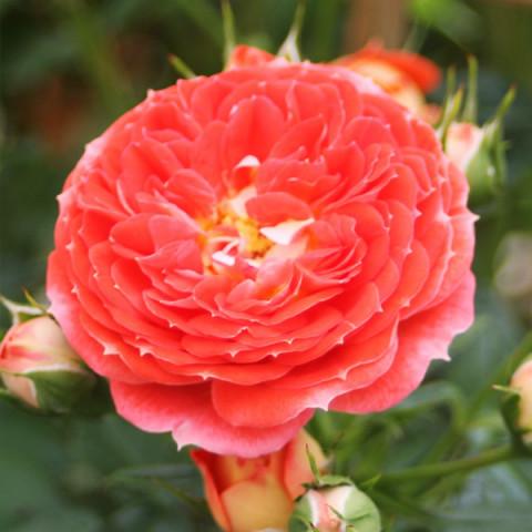 Роза Старлет Роуз Кармен (Starlet Rose Carmen) штамб Tantau