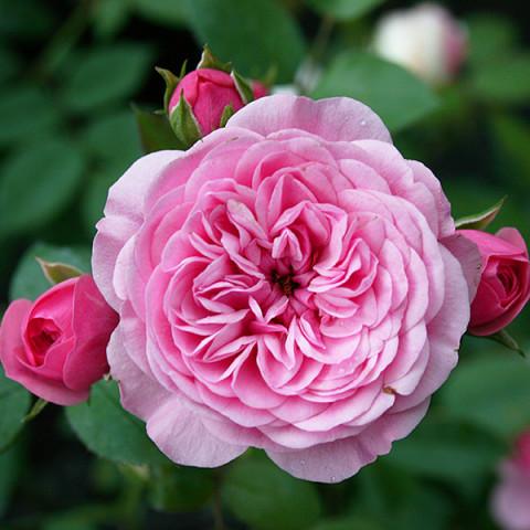 Роза Старлет Роуз Ева (Starlet Rose Eva) штамб Tantau
