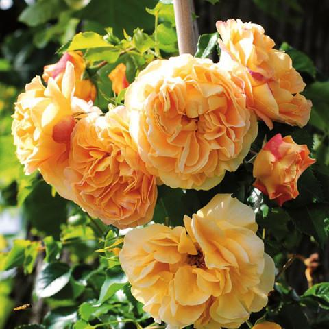 Роза Старлет Роуз Лиззи (Starlet Rose Lizzy) штамб Tantau