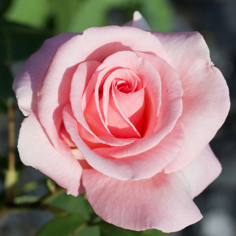 Троянда Саммер Леді (Summer Lady) штамб Tantau (контейнер 2 л)