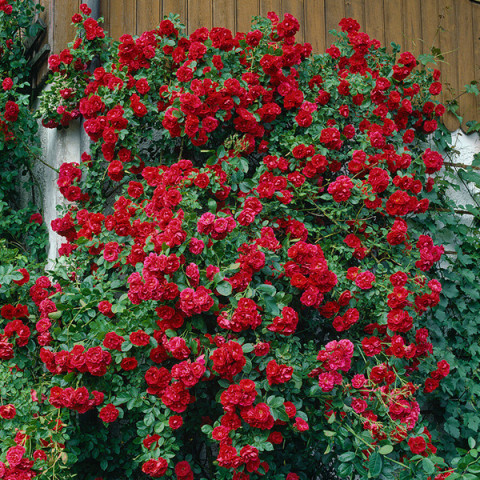 Троянда Вікторія (Victoria)