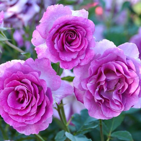 Роза Виолет Парфум (Violette Parfume)