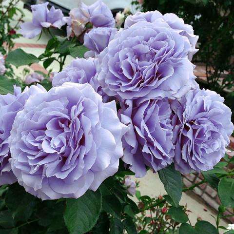Троянда Всесвіт (Universe)