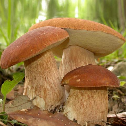 Білий гриб сітчастий 10 г (міцелій грибів)