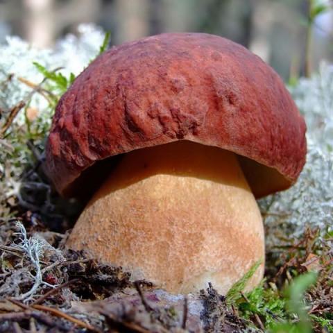 Білий гриб сосновий 10 г (міцелій грибів)