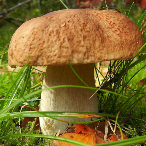 Білий гриб березовий 10 г (міцелій грибів)
