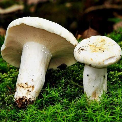 Груздь справжній 50 г (міцелій грибів)