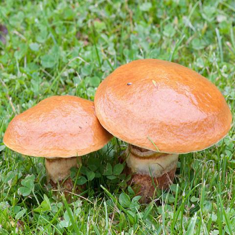 Маслята звичайні 10 г (міцелій грибів)