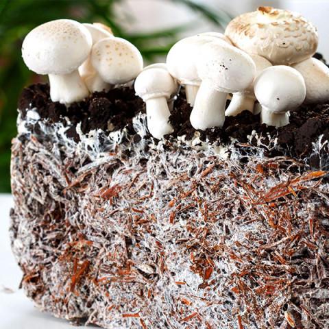 Печериця двоспорова 10 г (міцелій грибів)