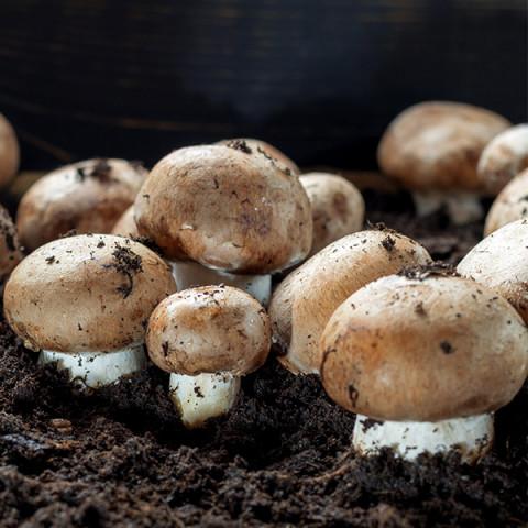 Шампиньон Королевский коричневый 50 г (мицелий грибов)