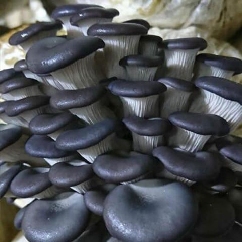 Глива Китайська Чорна 50 г (міцелій грибів)