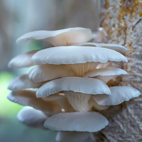 Глива Морське вушко 50 г (міцелій грибів)