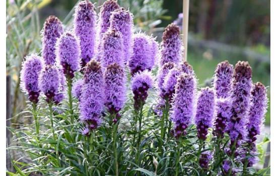 Лиатрис – очаровательные свечи-соцветия и дивный аромат