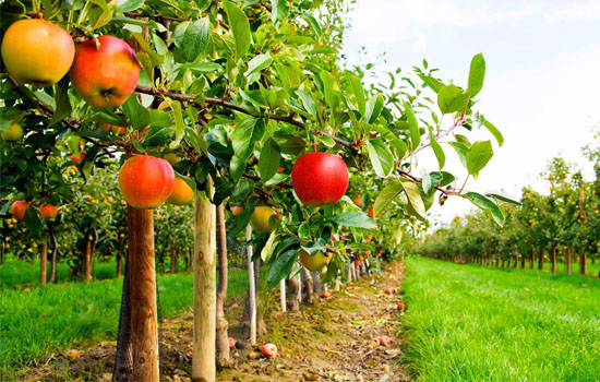 Плодовий сад: як закласти новий, доповнити та оновити вже існуючий