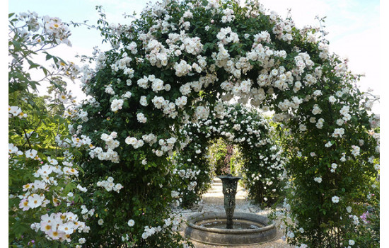 Розы: клаймберы и рамблеры главные отличия плетистых красавиц