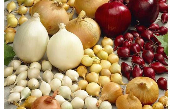 Голландська цибуля-сіянка – головні правила агротехніки