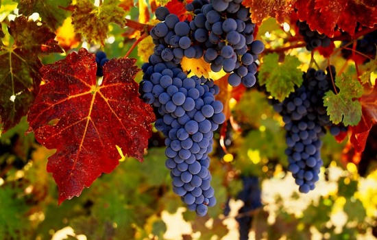 Підготовка винограду до зими: осіння обрізка та укриття саджанців