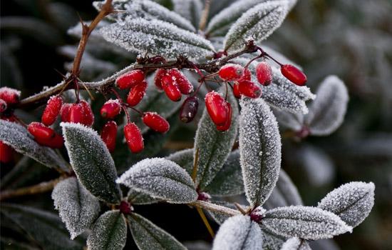 Зоны морозостойкости садовых растений